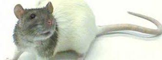 voedsel rat
