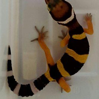 gecko-leopardo