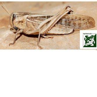 Locusta migratoria adult