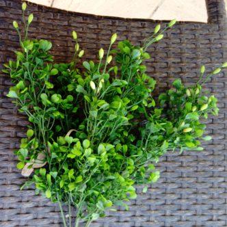 planta-buxu-35-6